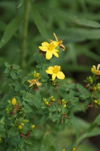 Invasive St. Johnswort, Hypericum perforatum.