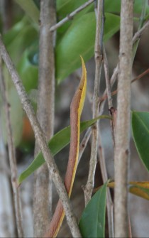 Male leaf-nosed snake, Langaha madagascariensis.