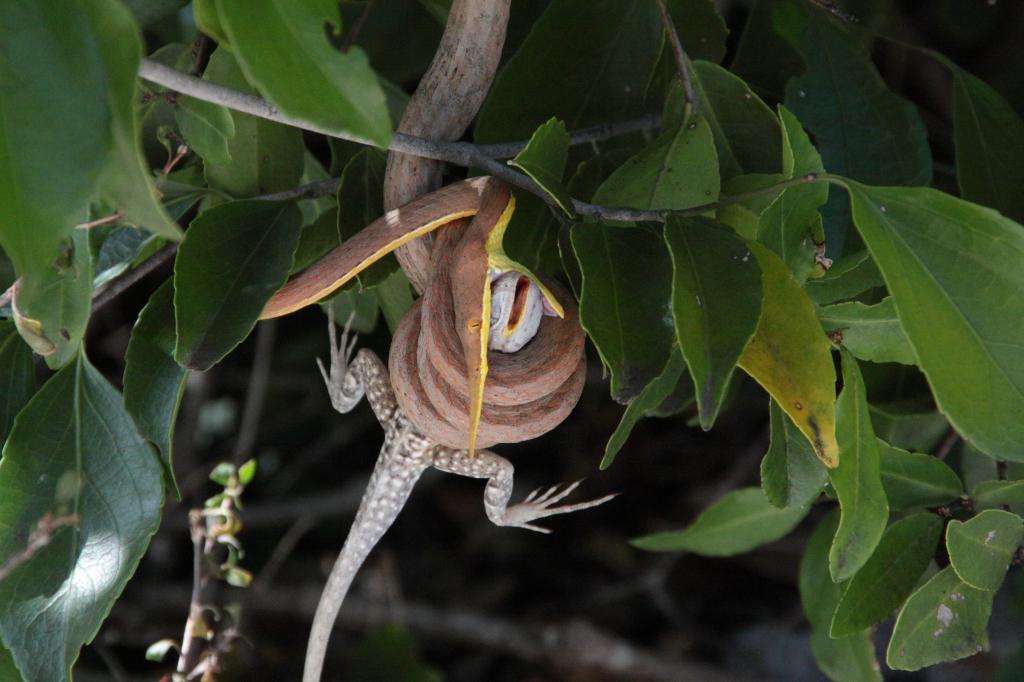 My snake- male eating terrestrial lizard (2)
